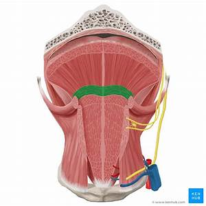 Tongue  Anatomy  Muscles  Taste Buds  Gustatory Pathway