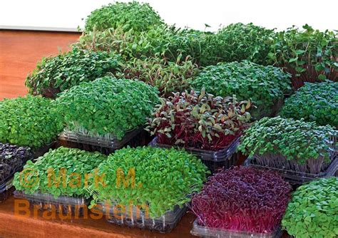 grow microgreens  recycled containers poke holes