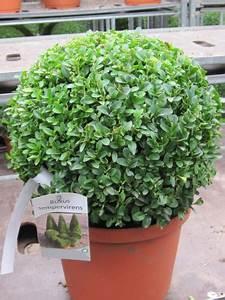 Buchsbaum Im Topf : buchsbaum kugel im topf versand f r blumen pflanzen floristik ~ A.2002-acura-tl-radio.info Haus und Dekorationen