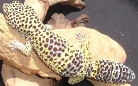 adult high yellow leopard geckos  sale
