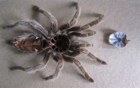 Do Tarantulas Shed Their Legs by The 53 Worst Images For Trypophobics Fear Of Holes