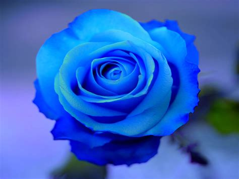 Wallpaper Blue Rose Wallpapers