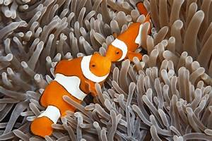 Will Clownfish Use Substitute Hosts In Aquariums