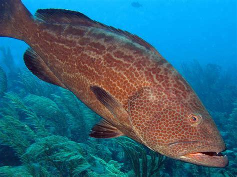 grouper yellowfin side belize mycteroperca bonaci location reefs tropical groupers cute reefguide