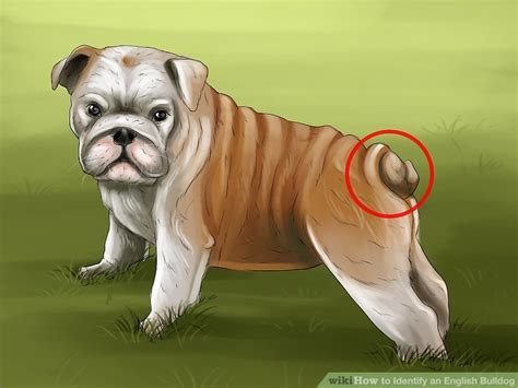 bulldog english tail bulldogs straight identify brown wikihow colors spots care step