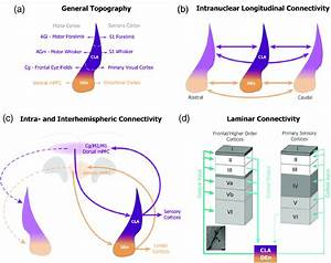Similarities In Anatomical Connectivity Of Cla And Den In
