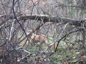 Thylacine 2012 Sightings