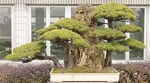 madchenkiefer bonsai pflege With französischer balkon mit garten bonsai winterhart