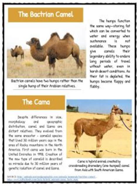 camel facts information worksheets  kids teaching