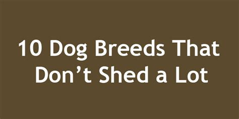 Which Dogs Dont Shed A Lot by 10 Breeds That Don T Shed A Lot Doggyzoo