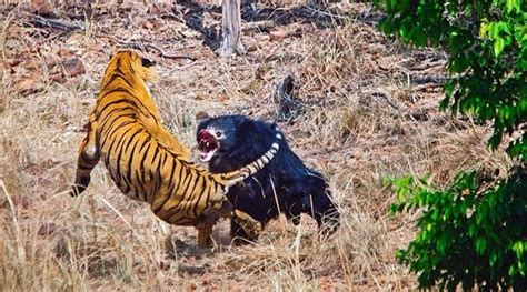 Why Are Most Human Beings More Afraid Scared Tigers