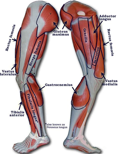 Healthy muscular structure and bones. Part 4 - The Leg Muscles | BCTC