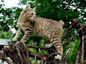 Domestic Lynx Cat - Bing images
