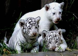 Baby Animals images white tiger cubs wallpaper and ...