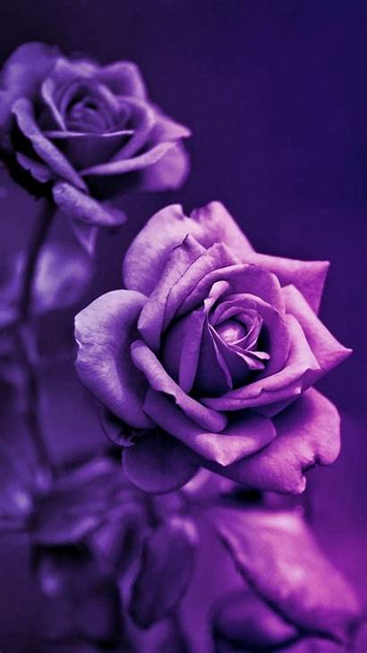 Purple Rose Roses Iphone Backgrounds Wallpapers Unique