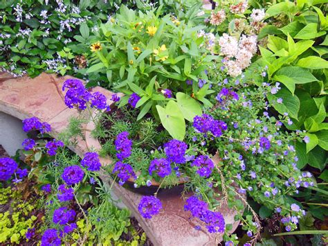 purple bacopa planting combination for verbena bacopa colocasia and
