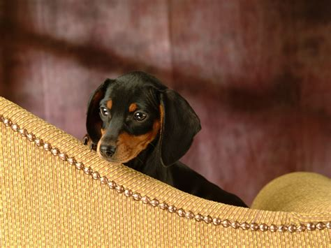 cute puppy dogs miniature dachshund puppies