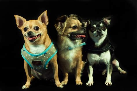 Free Images Puppy Dogs Three Verte Te Chihuahua Dog Breed Calhoun Small Dog Breeds