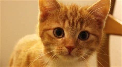 geschlechtsreife bei katzen rolligkeit catplusde