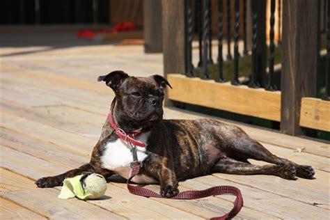 bugg dog boston terrier pug mix info temperament