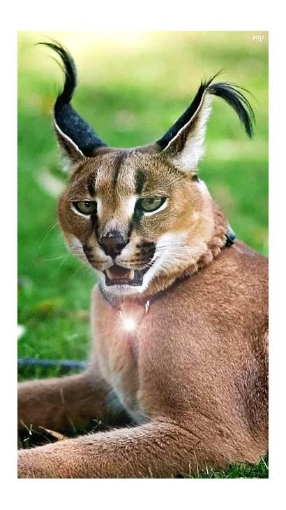 Caracal Lynx Amazing Gifs Animals источник Karakal