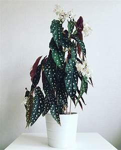 Zimmerpflanzen Für Schatten : schatten zimmerpflanzen begonia maculata container ~ Michelbontemps.com Haus und Dekorationen