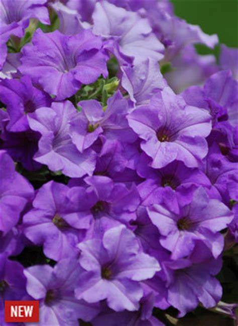 surfinia heavenly blue petunia hybrid proven winners