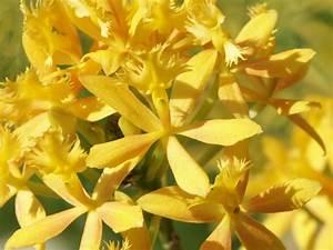Alpenveilchen Gelbe Blätter : orchideen gelbe bl tter orchideen krankheiten merkmale ~ Lizthompson.info Haus und Dekorationen