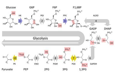 steps  glycolysis