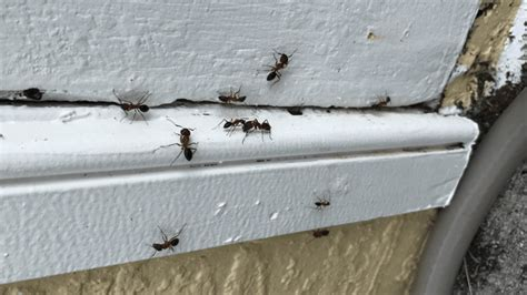 florida ants identification guide red black ants