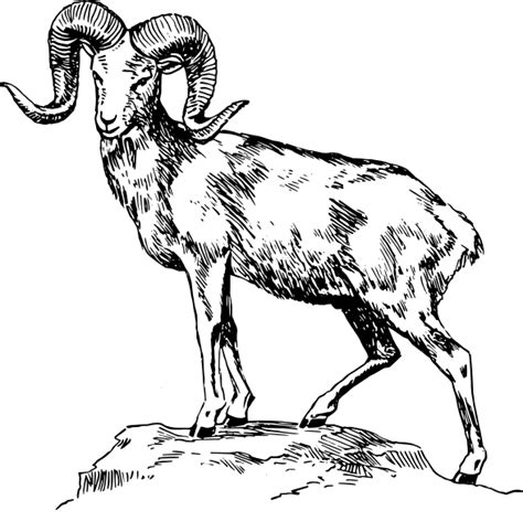 draw  ram head clipartsco