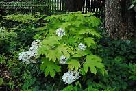 little honey hydrangea PlantFiles Pictures: Oakleaf Hydrangea 'Little Honey' (Hydrangea quercifolia) by Rickwebb