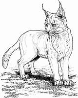 Cat Coloring Pages Lynx Cats sketch template
