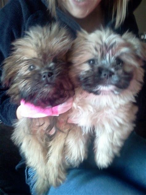 Do Yorkie Poms Shed by Pom Shih Tzu Mix Breed Thriftyfun