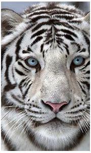 Beautiful White Tiger Wallpaper   Gallery Yopriceville ...
