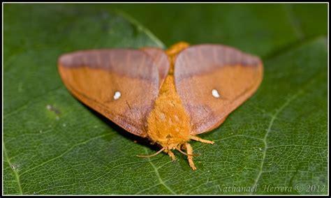 spiny oakworm moth anisota stigma tallahassee florida