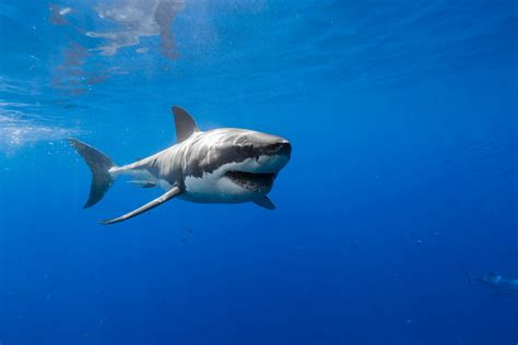 Great White Shark Photographer George T. Probst Part 2