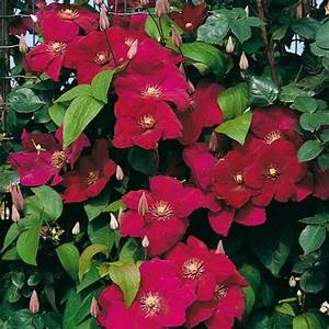 Clematis Pflanzen Kübel : clematis roter kardinal von g rtner p tschke ~ Orissabook.com Haus und Dekorationen