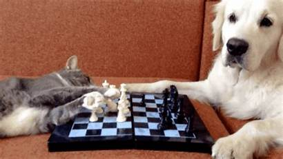 Chess Cat Dog Playing Cats Animals Giphy