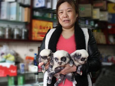 How Much Are Panda Bear Puppies