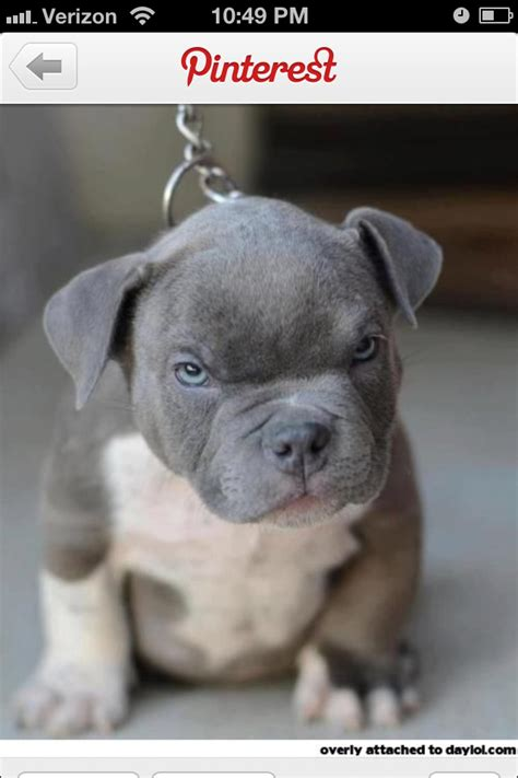 pits pictures mean pitbulls www pixshark com images galleries with a bite