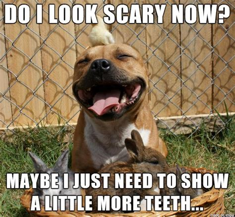 Pitbull Puppy Meme - 17 best images about pitbulls on pinterest lol funny puppys and pit bull