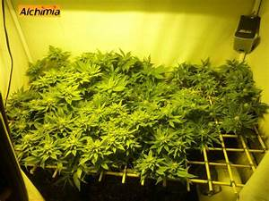 Culture de cannabis a floraison automatique blog du for Mini chambre de culture cannabis