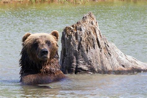 Trophy Grizzly Bear Hunt