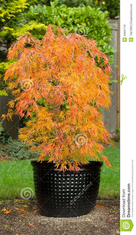 petit 233 rable japonais dans le pot pendant l autumn season image libre de droits image 34691716