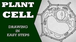 How To Draw  Plant Cell In Easy Steps  Fundamental Unit Of
