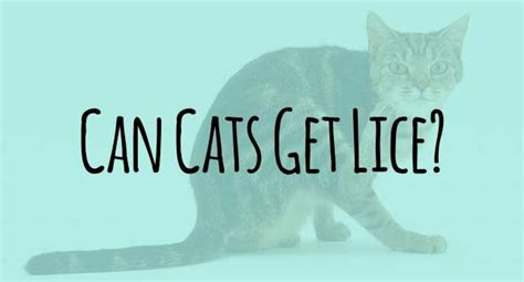 can cats get lice from humans