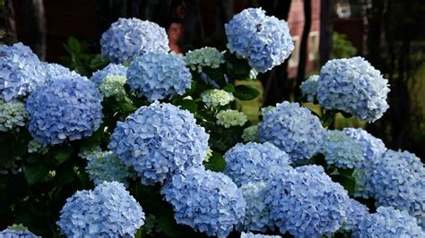 Do You Winter Gardening Blues by Learn When To Prune Different Hydrangeas In Your Garden