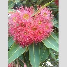 506 Best Images About Gum Trees 1 On Pinterest Trees