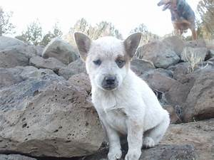 Pin Red-australian-cattle-dog-puppies on Pinterest